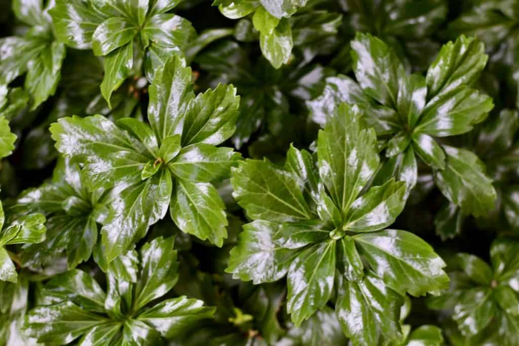 Pachysandra - Japanese Spurge - Shade Garden Groundcover Plant