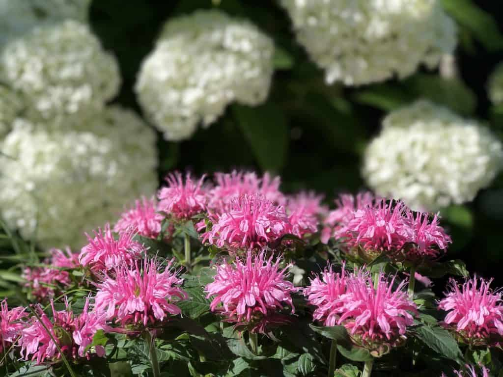 Pink bee balm showy flowers in front of white hydrangeas