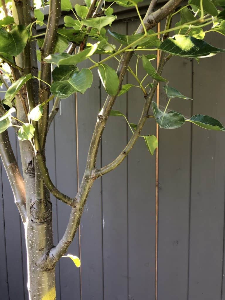 Prune out crossing and rubbing branches on trees and shrubs
