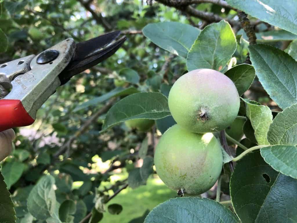 Pruning fruit trees - apple