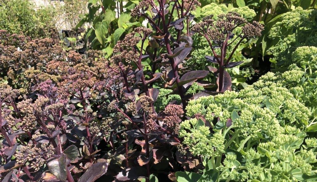 Sedum - purple and green flowering sedum perennials