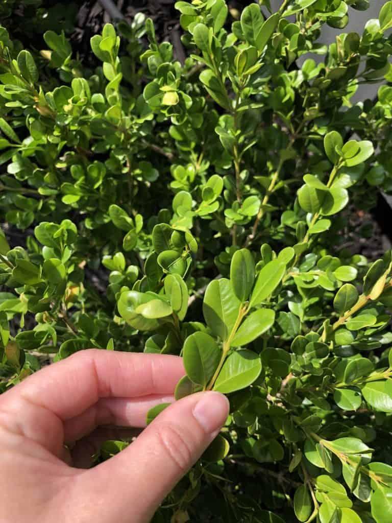 foliage of winter gem boxwood