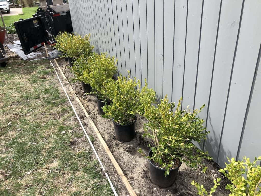 installed edging for boxwood hedge