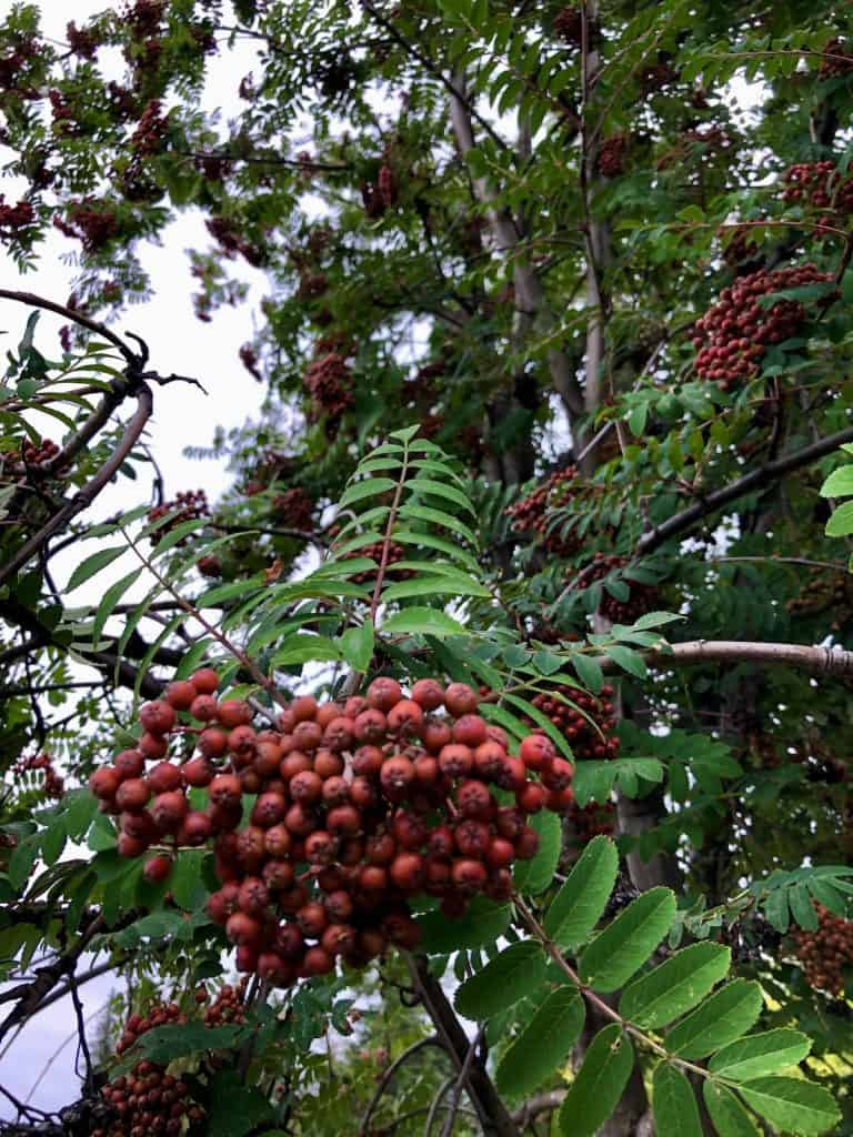 mountain ash berries - rowan tree up close