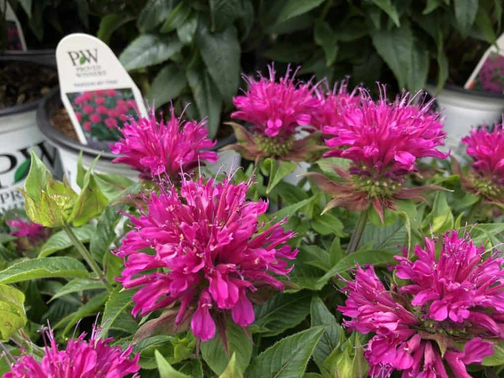 'pardon my pink' bee balm by proven winners