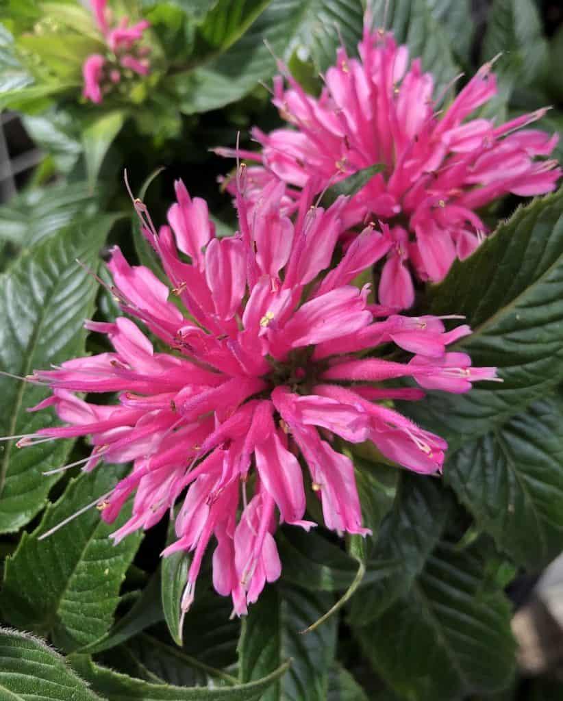 pink bee balm - flower close up