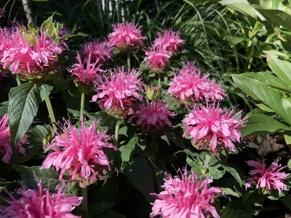 pink bee balm in the garden