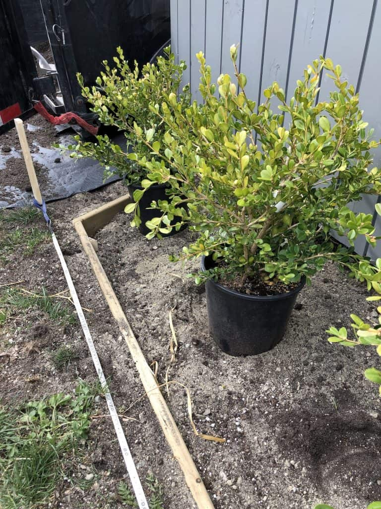 planting winter gem boxwood plants - 2 gallon nursery pots