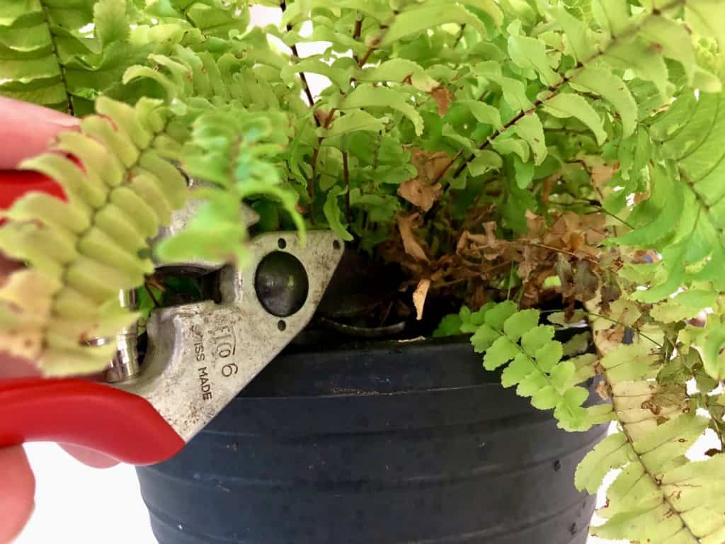 pruning out dead growth from a boston fern houseplant