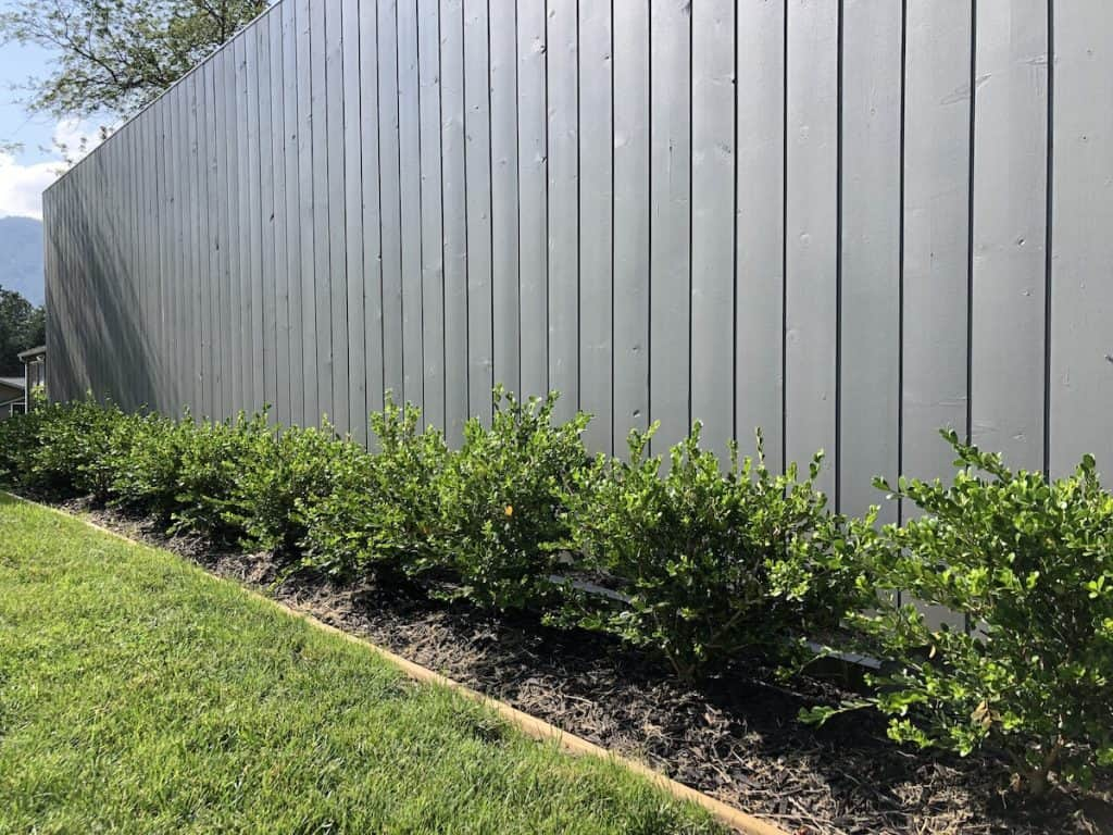 row of winter gem boxwood in front of fence