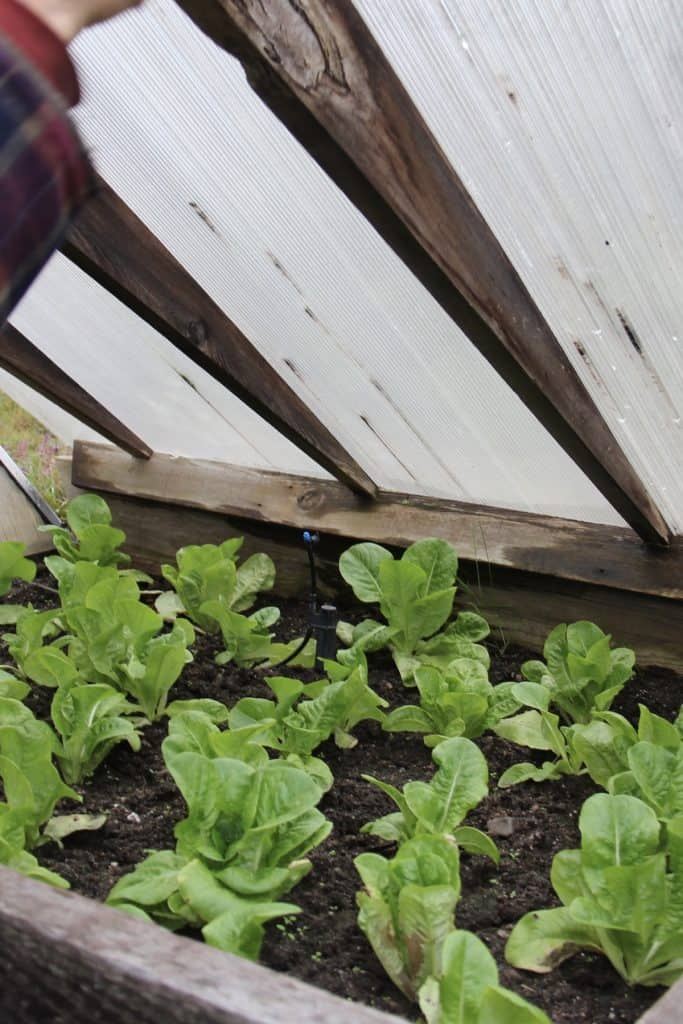 winter crops - lettuce growing in cold frame