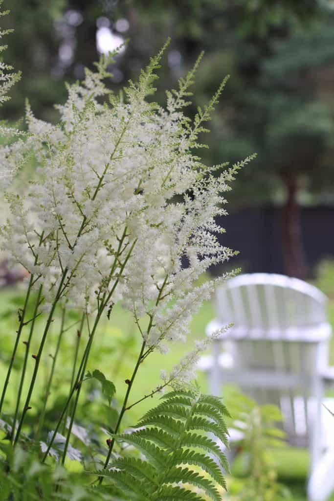 White astilbe flowers in the shade garden