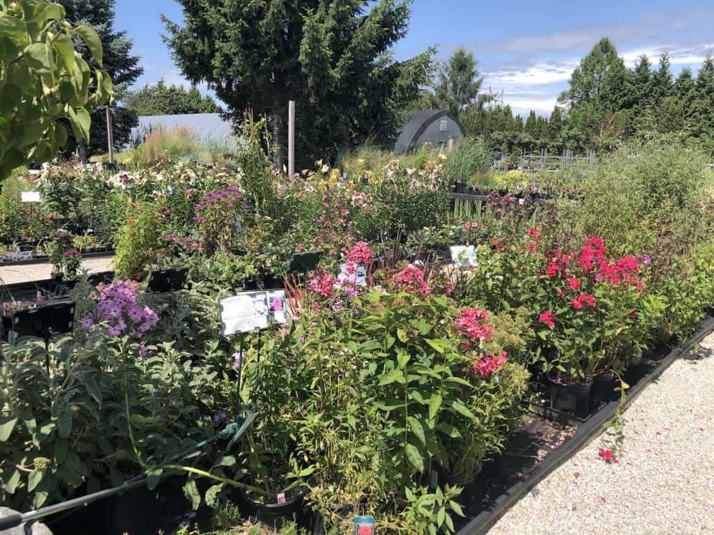 flowering perennials at the plant nursery - pheonix perennials in british columbia