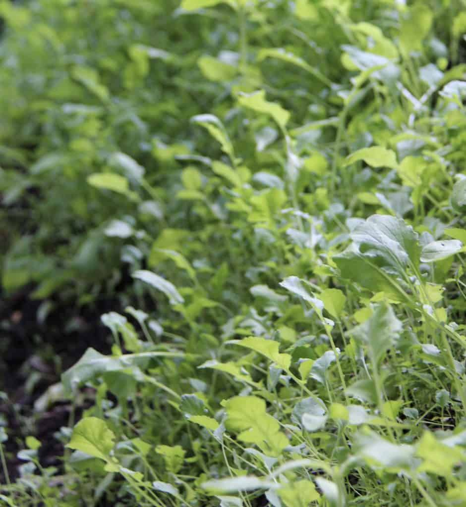green manure cover crop to add nutrients to garden soil