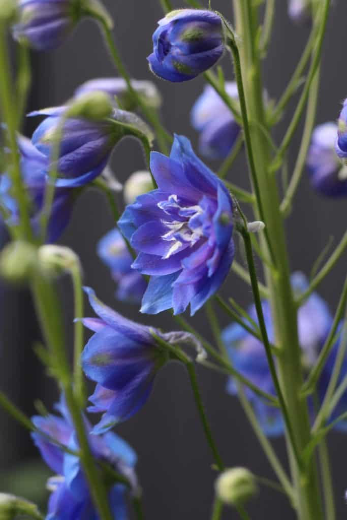 lavender-blue airy stalk of organic flowers in the garden