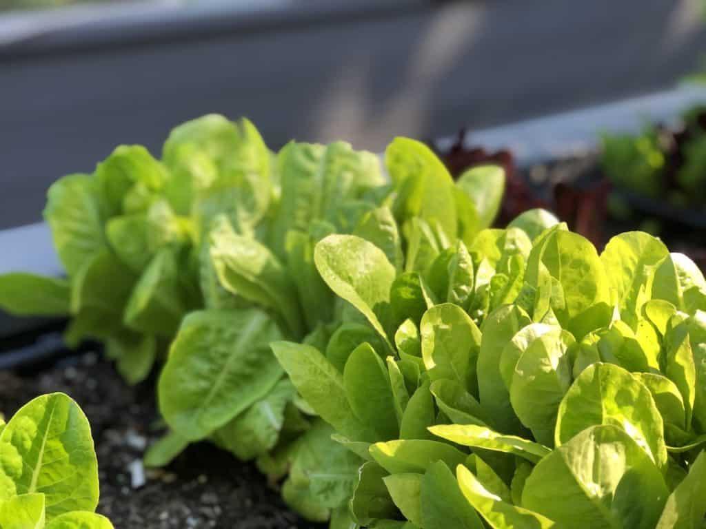 lettuce growing in a raised garden bed
