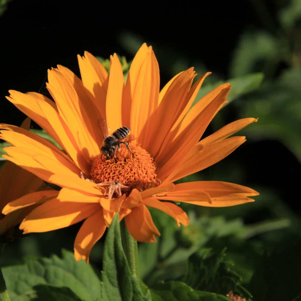 orange flower with bee pollinating it