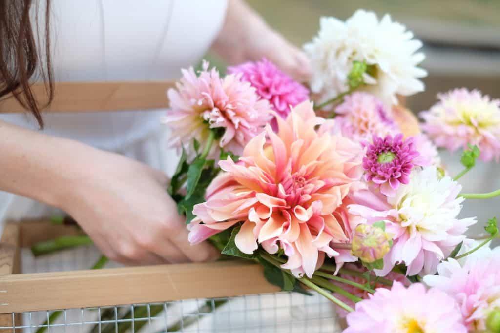 pink dahlia flowers from the cut flower garden - airy summer flowers