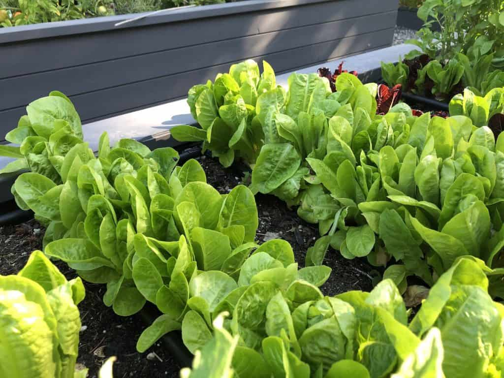 raised garden beds - Lettuce growing in a raised bed garden