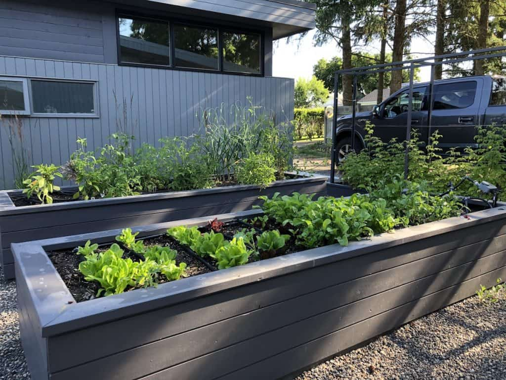 raised garden beds - grey wooden boxes planted with green lettuce, tomatoes, and garlic in urban backyard