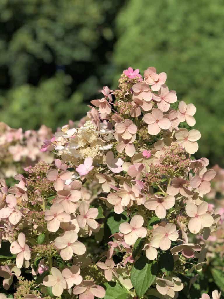 soft pink hydrangea flowers in August