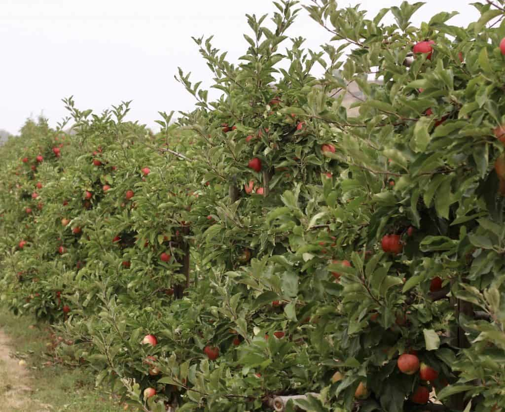 A row of royal gala apple trees