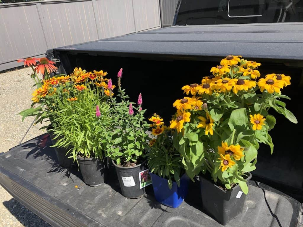 Buying perennials on sale in the fall