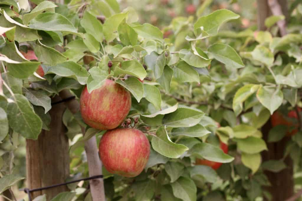 Close up of ripe honeycrisp apples on an apple tree