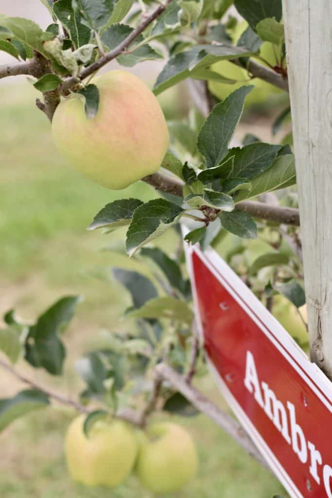 Colour developing on ambrosia apple in british columbia