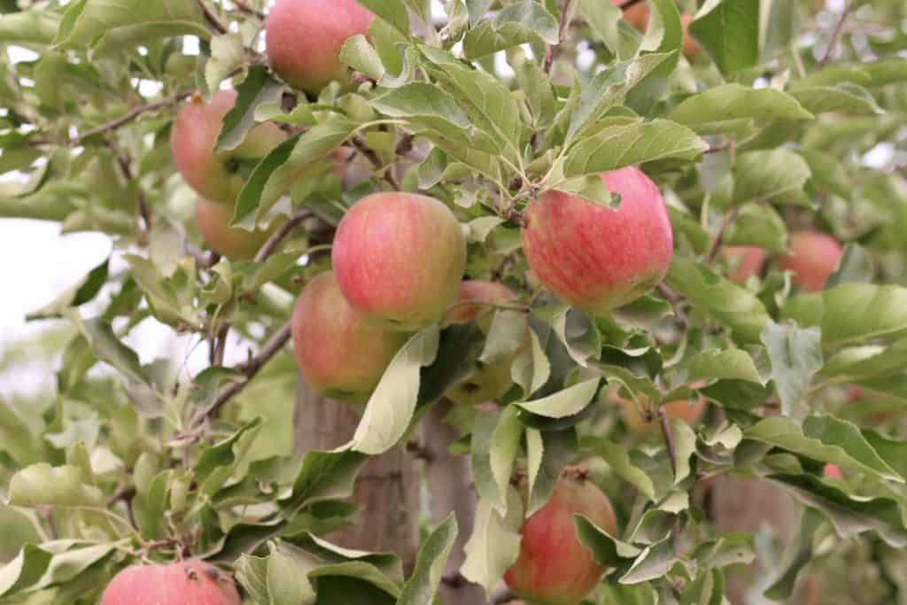 Cripps Pink - Pink Lady Apples - Apple Tree with Ripening Apples