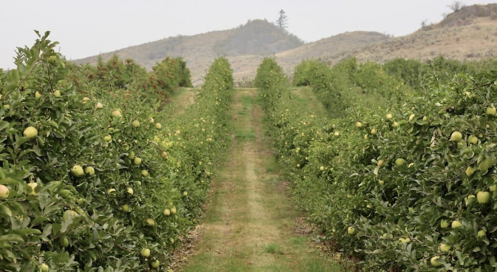 Fuji Apple Trees in September