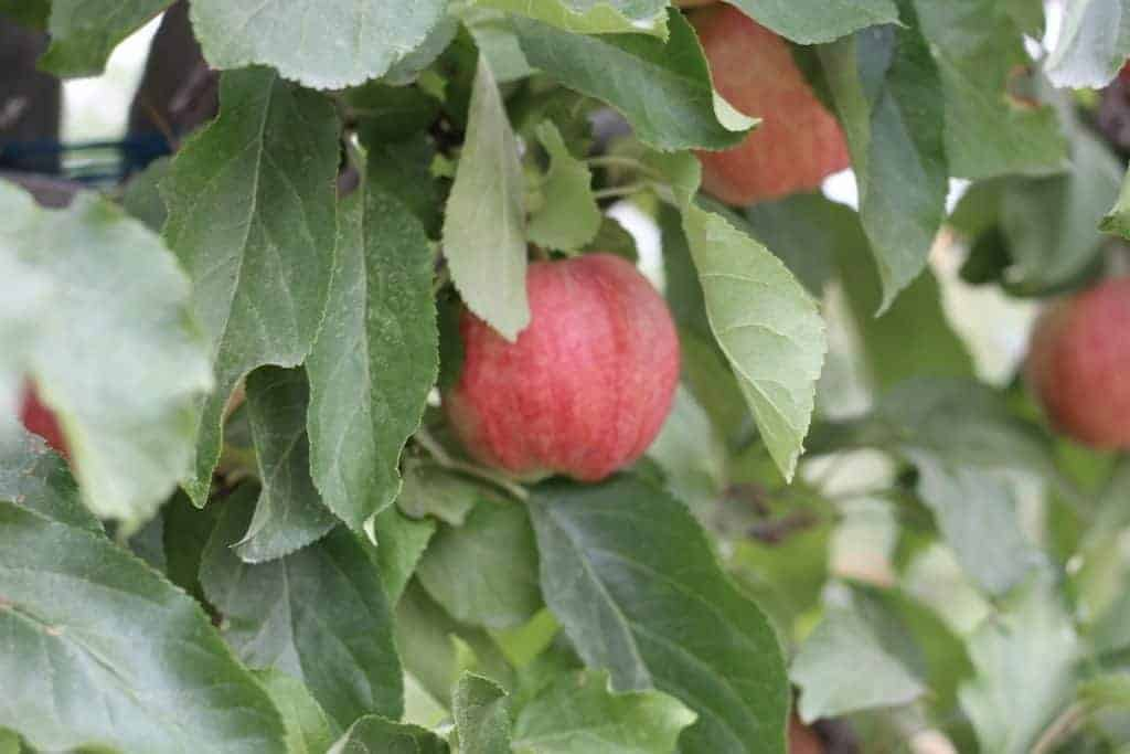 Gala apple tree leaves and ripening apples