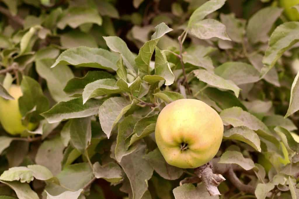Golden Delicious Apple on Tree