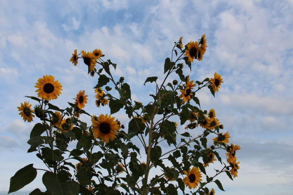 Growing Giant Sunflowers with Toddlers