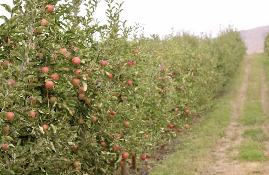 Growing Pink Lady Apples in Orchard