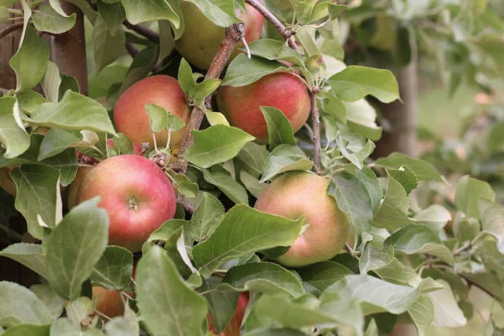 Honeycrisp Apples Growing in an Orchard