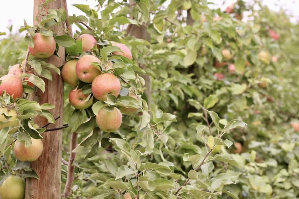 Honeycrisp apples on apple trees in the orchard