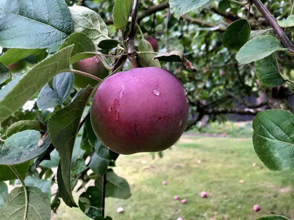 McIntosh Apple on Backyard Apple Tree