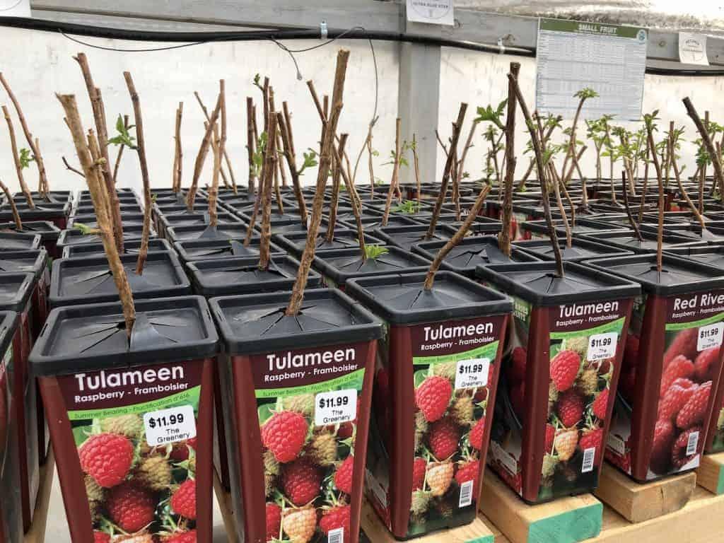 New Raspberry Plants at Nursery