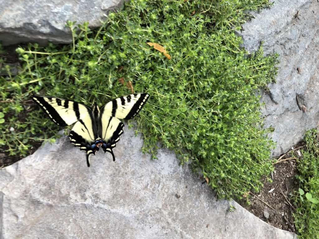 Preschool Nature Activity - Raising Monarch Caterpillar Cocoons