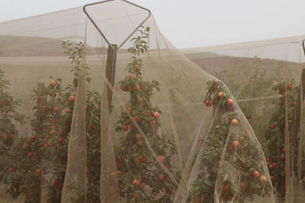 Protective Netting over Honeycrisp Apple Trees