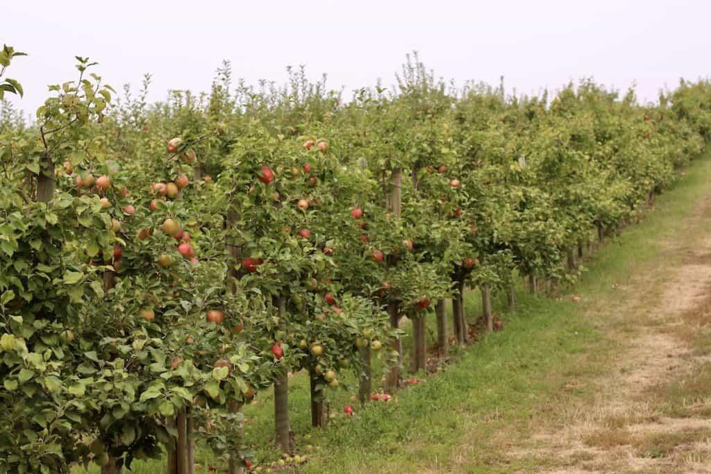 Row of Honey Crisp Apple Trees