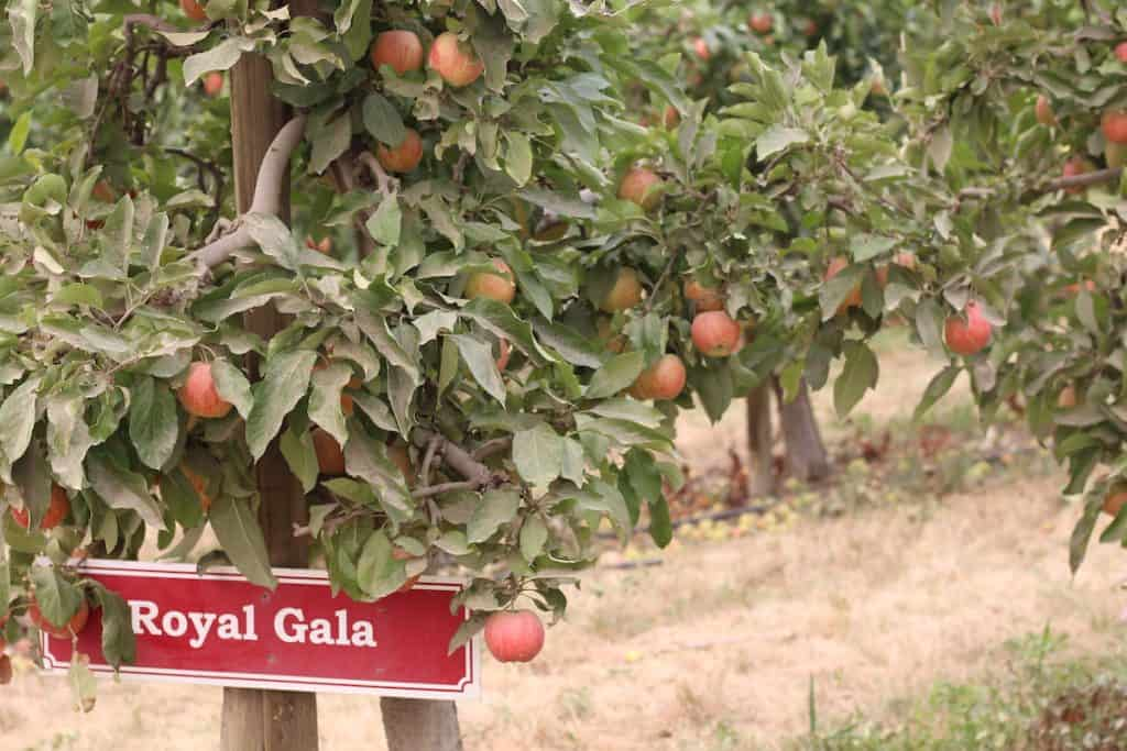 Royal Gala Apple Sign with Apples Growing Around It