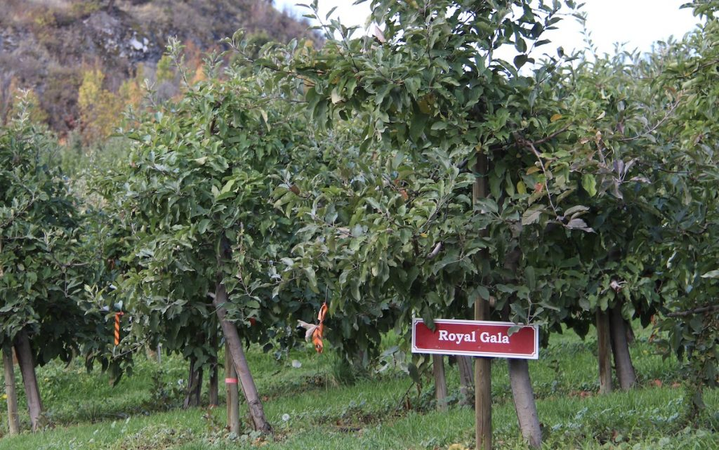 Royal Gala section of fruit orchard