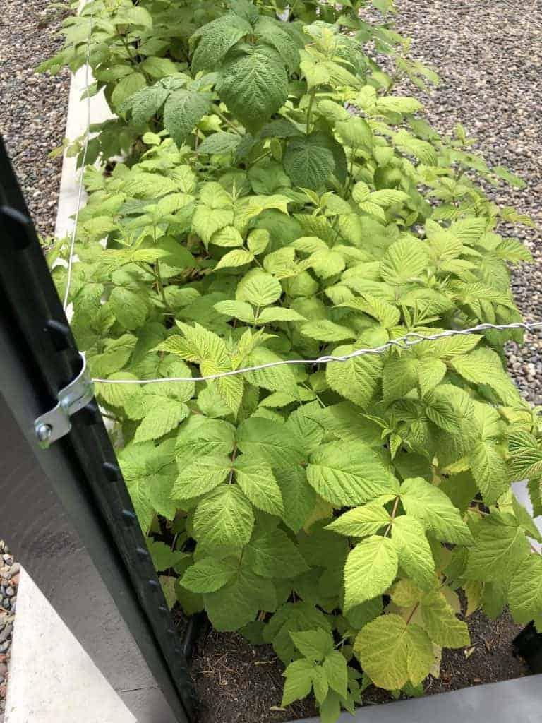 When to Fertilize Raspberries