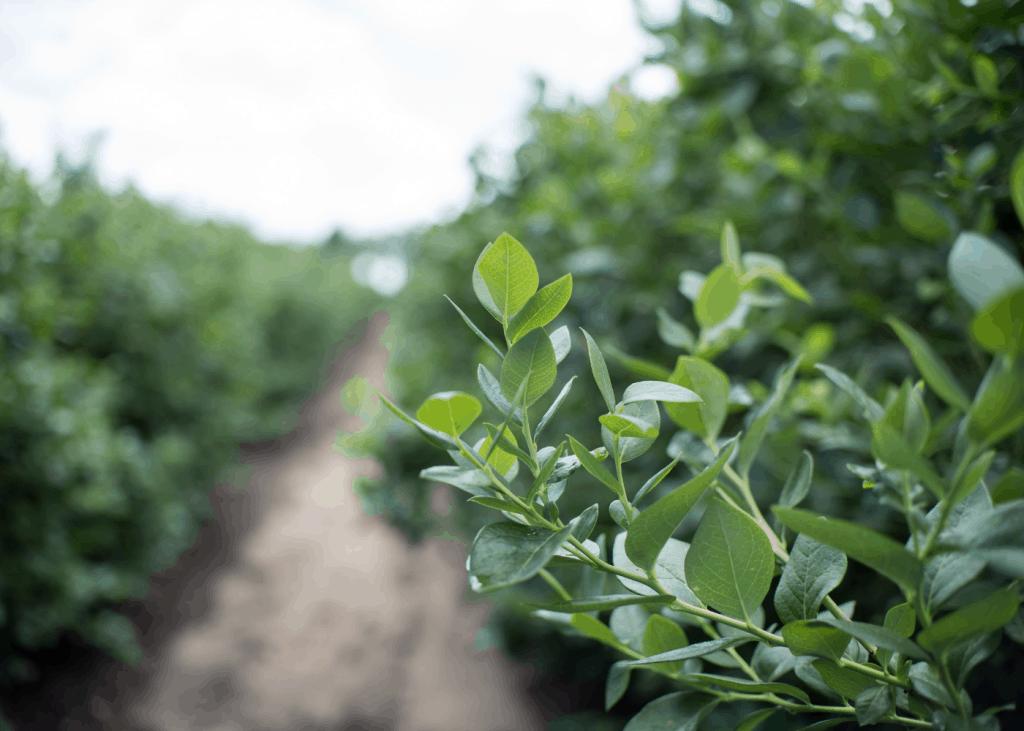 When to fertilize blueberries -blueberry farm in spring