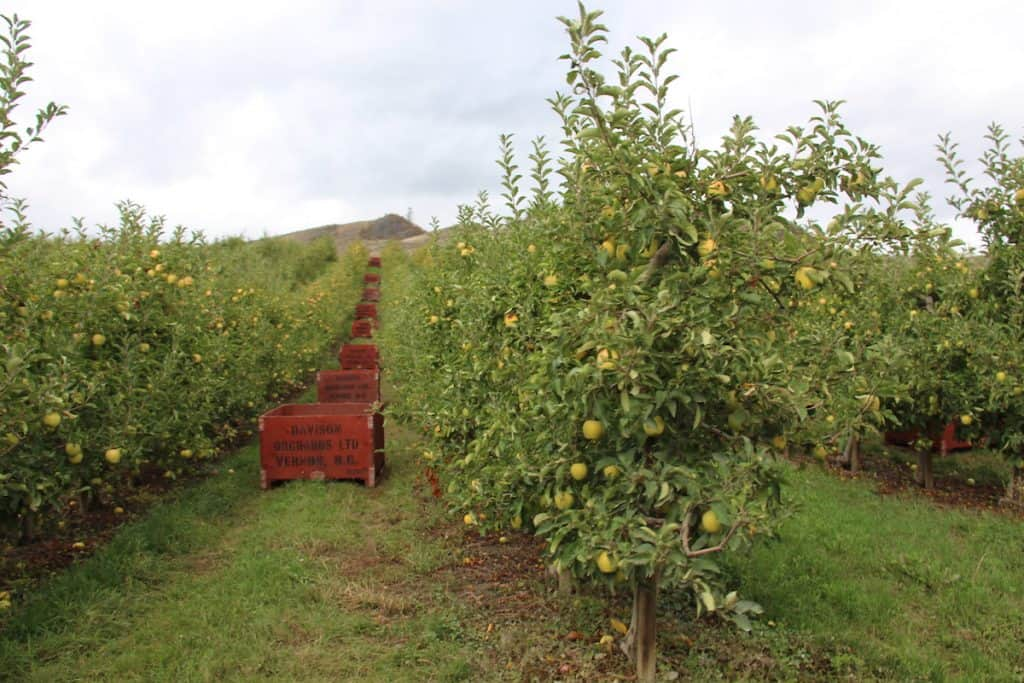 granny smith apple orchard