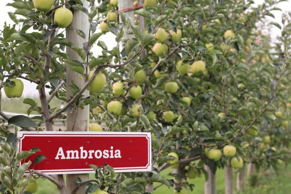 organically-grown ambrosia apples