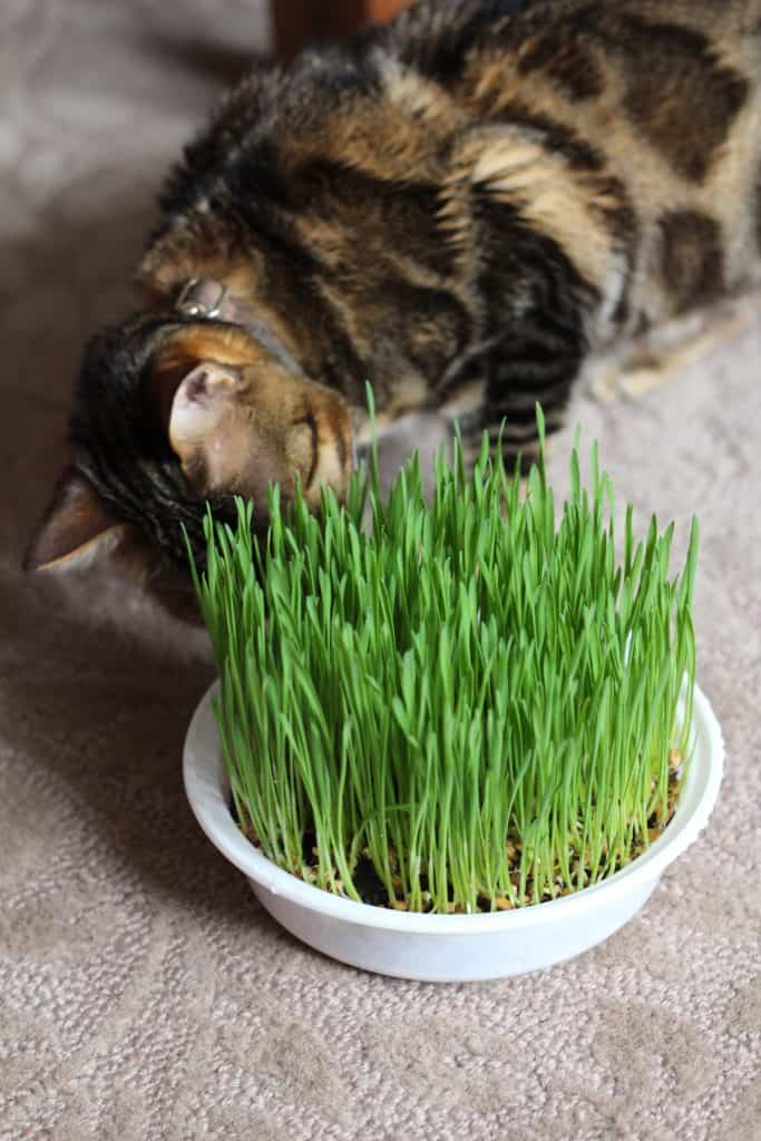 Bengal Cat Playing With Live Cat Grass