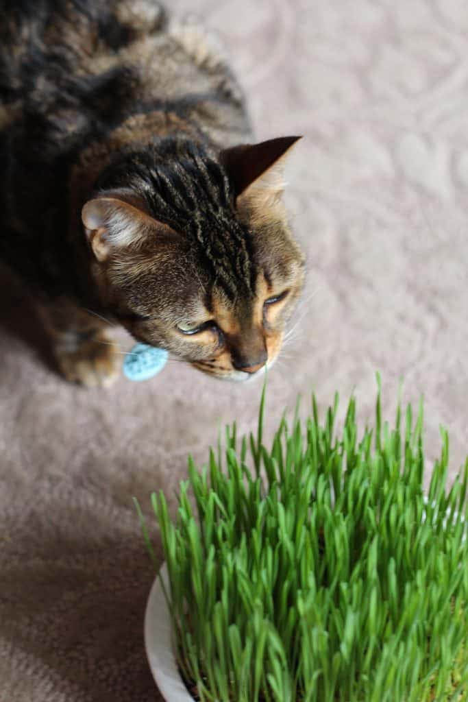 Bengal Cat with Cat Grass on Carpet